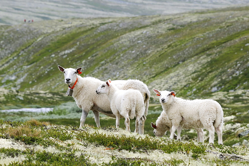 Sheep in the Rondane National Park, Norway, Europe