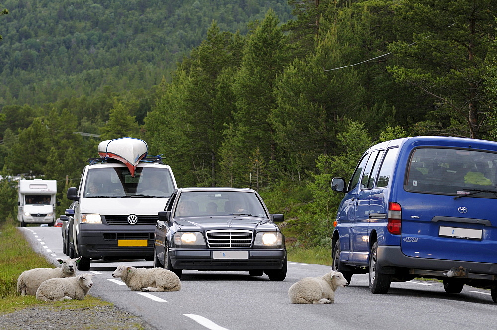 Sheep lying on a country road in Norway, Scandinavia, Europe