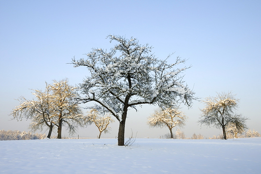Snow-covered fruit trees, orchard in winter