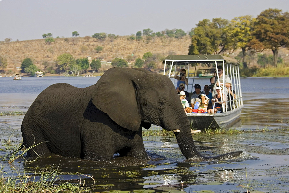 Tourists watching an African Bush Elephant (Loxodonta africana) from a boat, Chobe River, Botswana, Africa - 832-1134