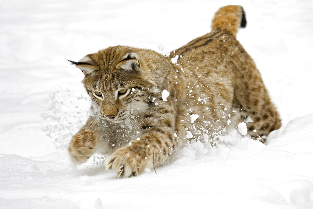 Eurasian Lynx (Lynx lynx) in deep snow, Bavaria, Germany, Europe