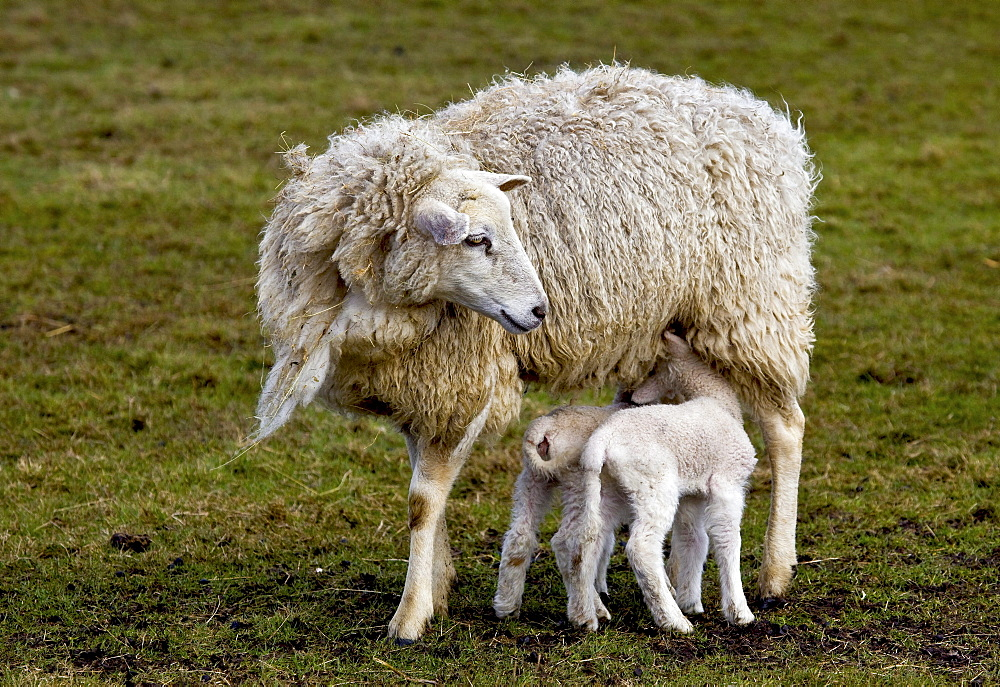 Ewe with suckling lambs, North Sea, North Friesland, Germany, Europe