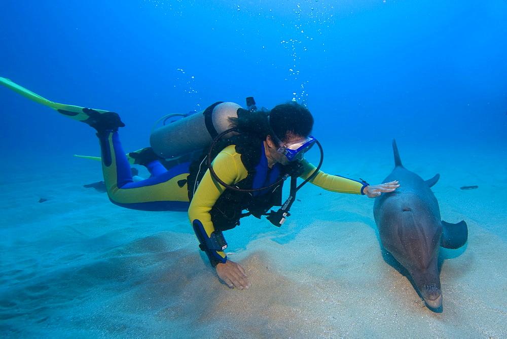 Tame Bottlenose Dolphin (Tursiops truncatus) and scuba diver on the ocean floor, tourist attraction, Roatan, Honduras, Caribbean