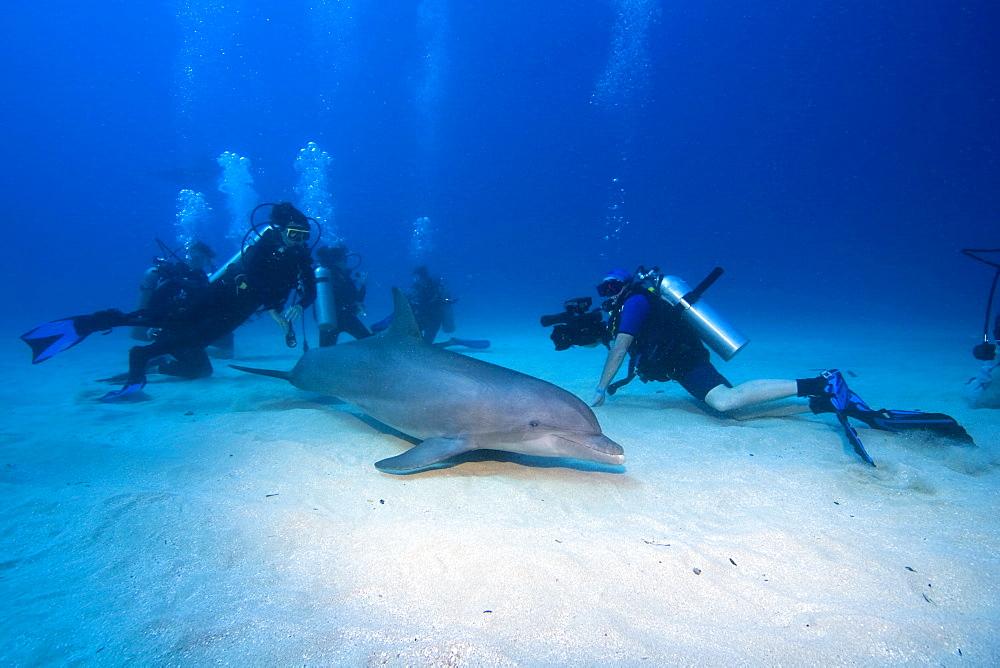 Tame Bottlenose Dolphin (Tursiops truncatus) and scuba divers on the ocean floor, tourist attraction, Roatan, Honduras, Caribbean