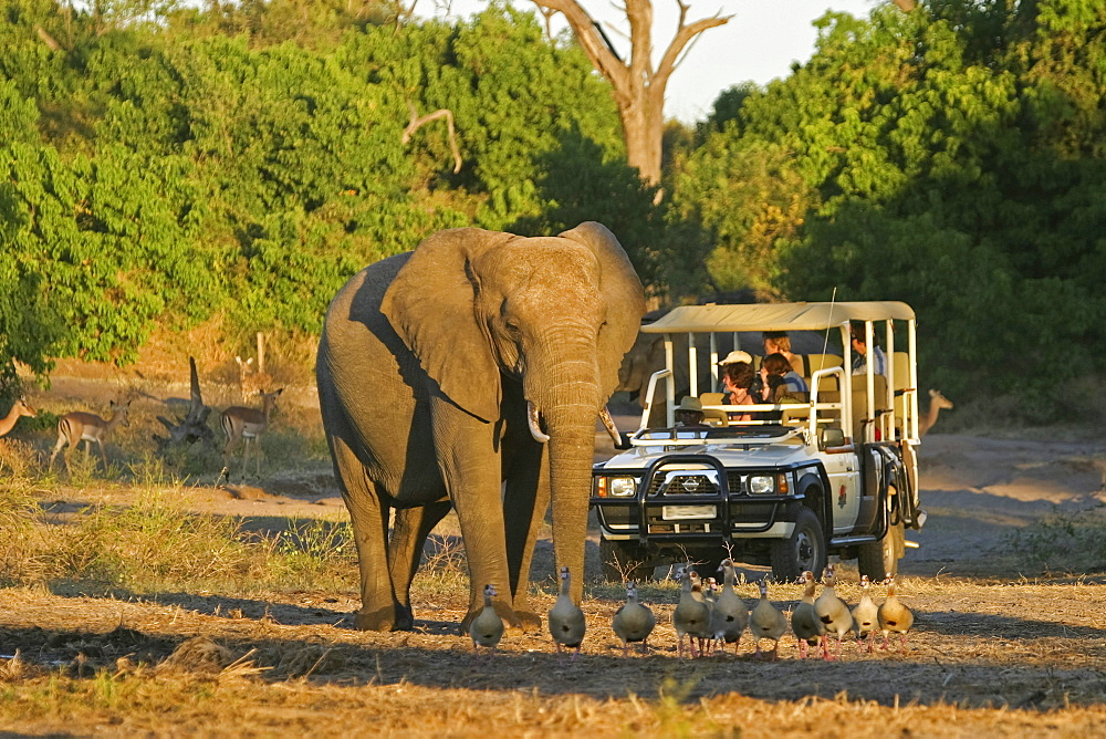 African Bush Elephant (Loxodonta africana) standing in front of a tourist jeep, Chobe River National Park, Botswana, Africa - 832-1152