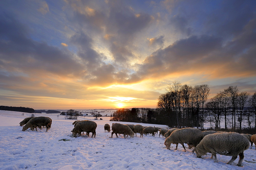 Winter landscape with herd of sheep at sunset, Mindelheim, Unterallgaeu, Bavaria, Germany, Europe