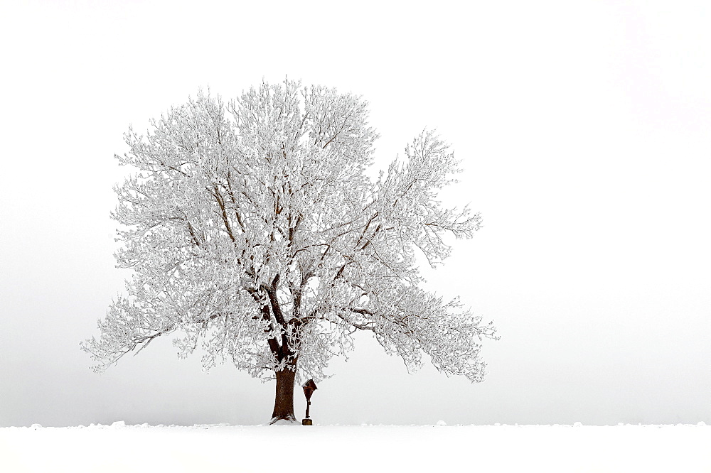 Snow-covered tree in fog, Mindelheim, Unterallgaeu, Bavaria, Germany, Europe