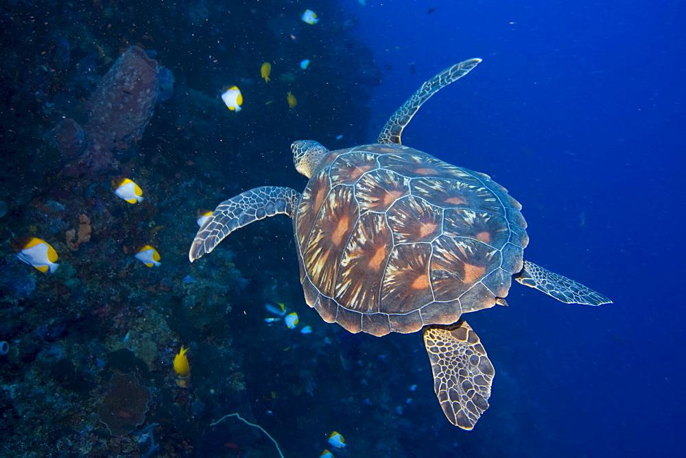 hawksbill turtle, Eretomochelys imbricata .