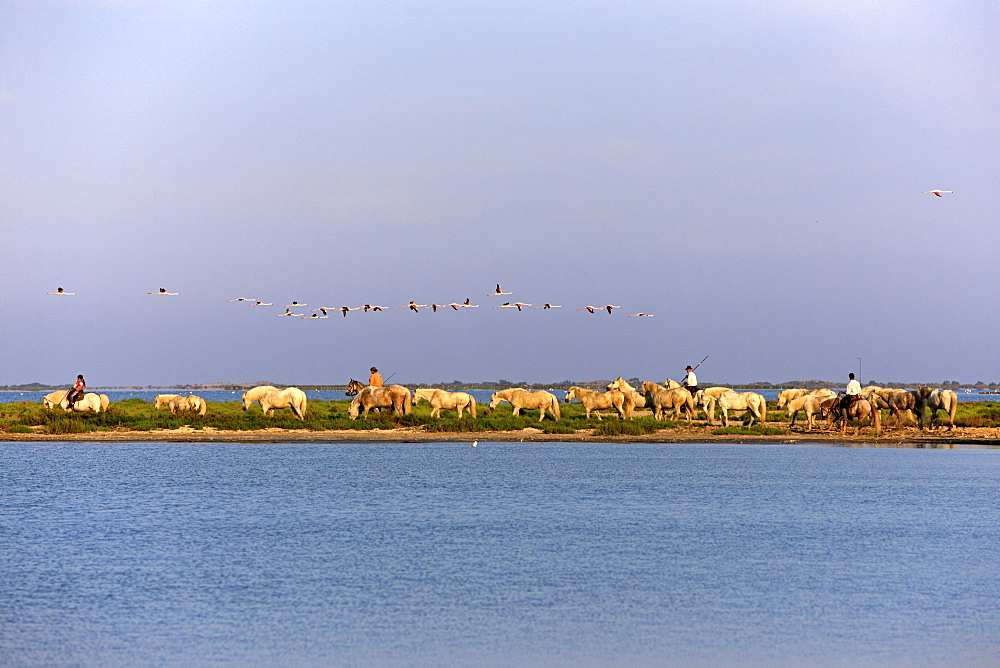 Camargue Horses (Equus caballus), some with people riding them, flamingos, Saintes-Marie-de-la-Mer, Camargue, France, Europe