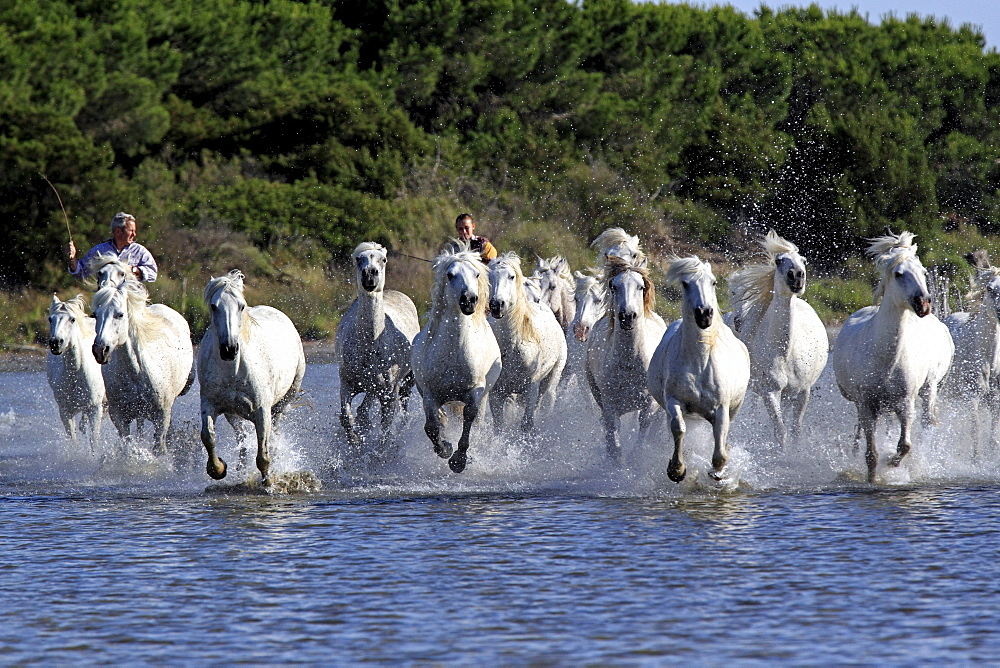 Camargue Horses (Equus caballus) with two horse-riders in water, Saintes-Marie-de-la-Mer, Camargue, France, Europe