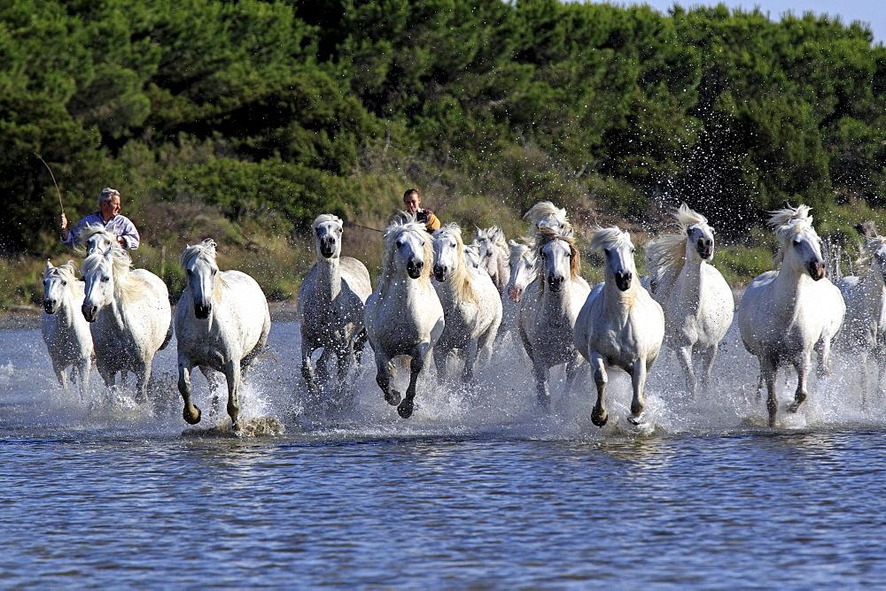 Camargue Horses (Equus caballus) with two horse-riders in water, Saintes-Marie-de-la-Mer, Camargue, France, Europe