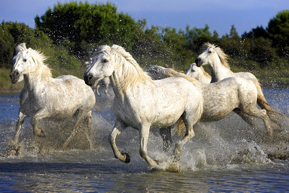 Camargue horses (Equus caballus), herd, gallopping through water, Saintes-Marie-de-la-Mer, Camargue, France, Europe