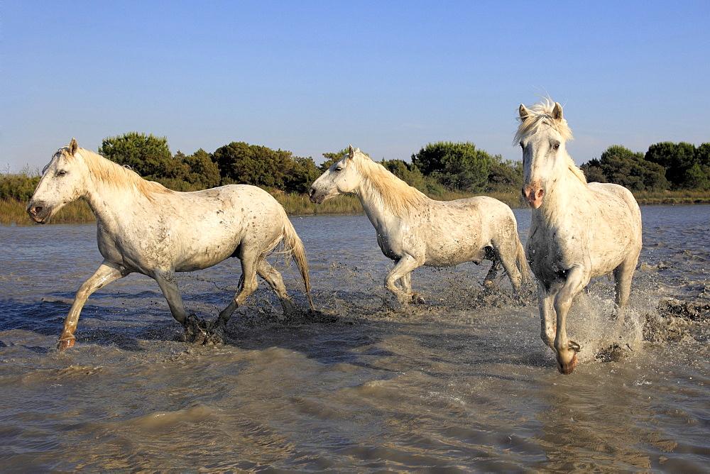 Camargue horses (Equus caballus), in water, Saintes-Marie-de-la-Mer, Camargue, France, Europe