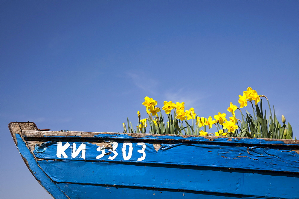 Spring plants growing in a boat, on Reichenau island, Lake Constance, Baden-Wuerttemberg, Germany, Europe