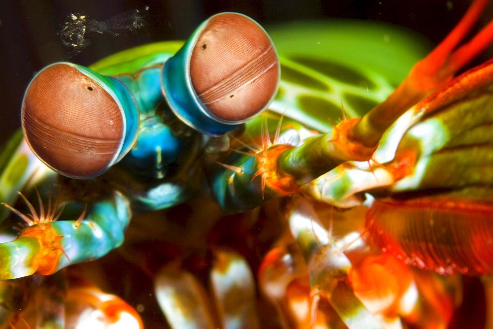 mantis shrimp, Odontodactylus scyllarus.