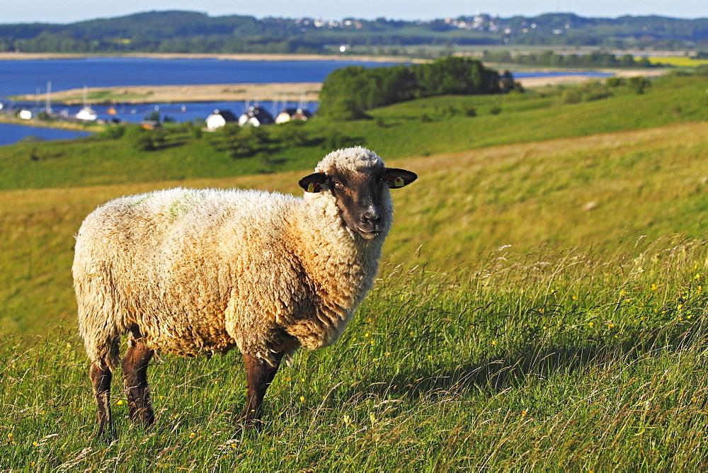 Sheep for landscape preservation on Moenchsgut Peninsula and Ruegischer Bodden in Southeast Ruegen Biosphere Reserve on the Baltic Sea coast, island of Ruegen, Mecklenburg-Western Pomerania, Germany, Europe