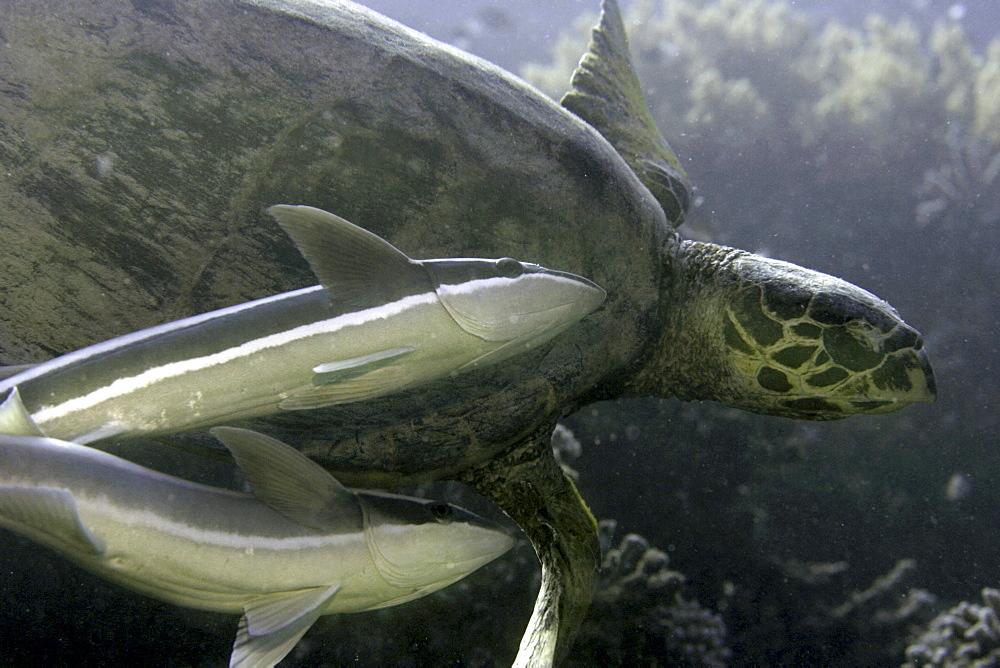 Sharksuckers, Echeneis naucrates, swimming with sea turtle, Red Sea.