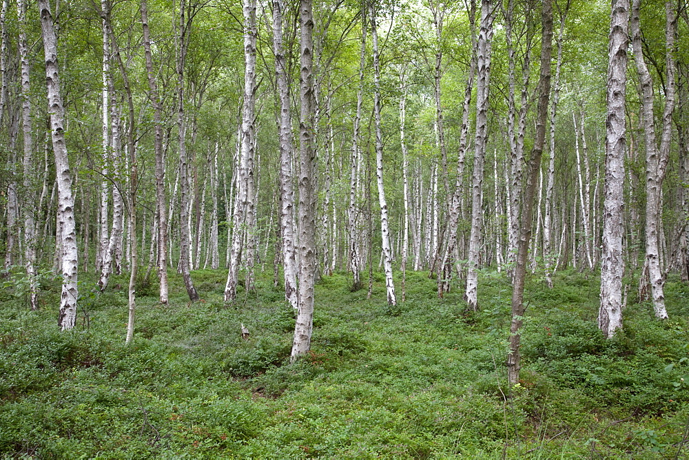 Birch forest, Mueritz National Park, Mecklenburg Lake District, Mecklenburg-Western Pomerania, Germany, Europe