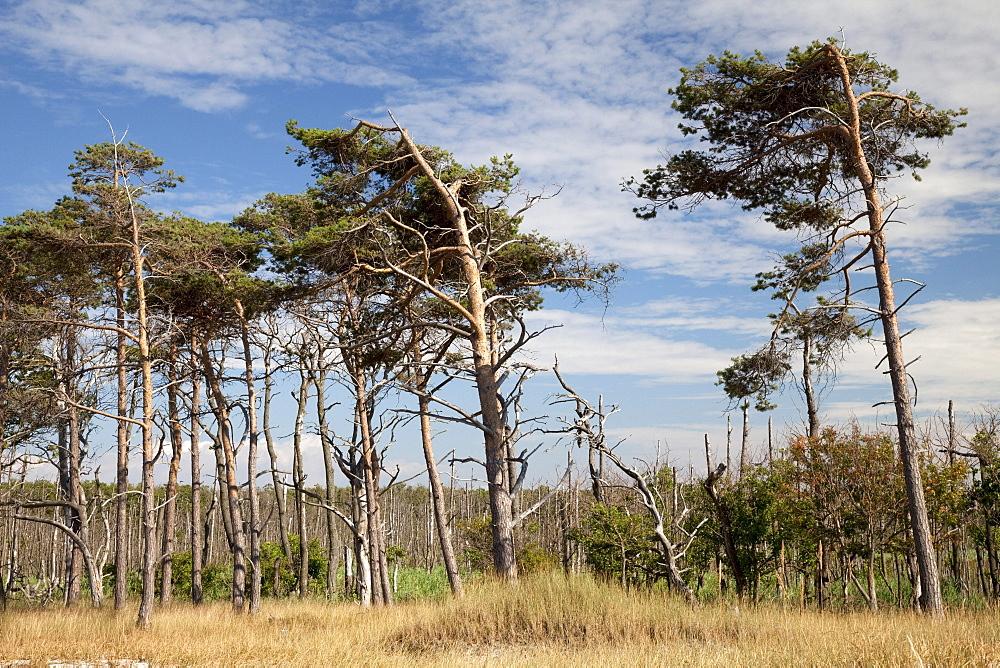 Landscape in Darss, Nationalpark Vorpommersche Boddenlandschaft national park, Fischland-Darss-Zingst peninsula, Mecklenburg-Western Pomerania, Germany, Europe