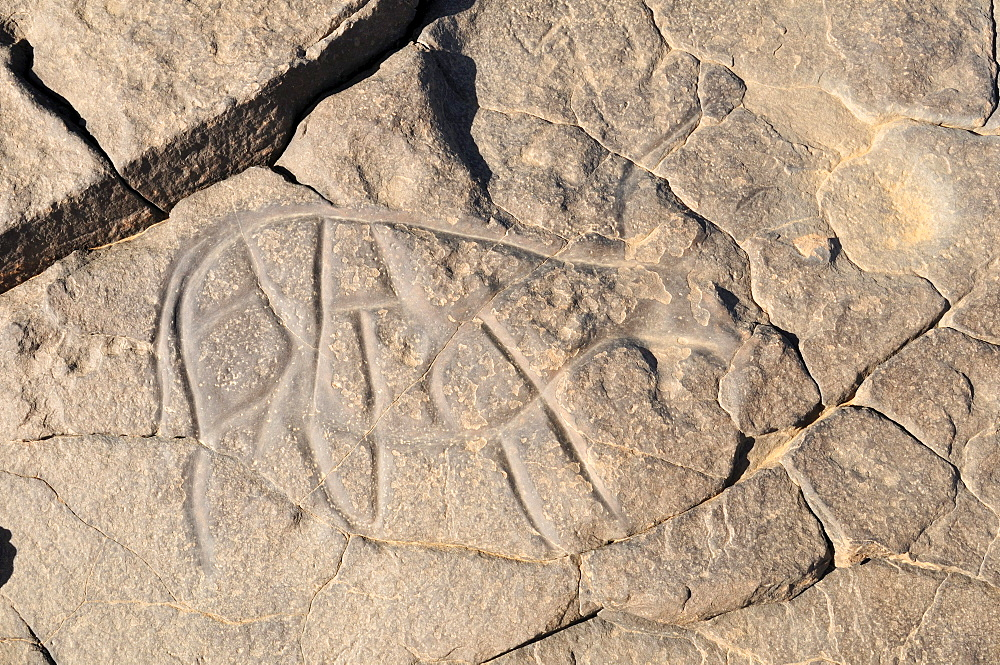 Prehistoric rock engraving of a cow or bull, neolithic rock art of Tinterhert, Dider Valley, Tassili n'Ajjer National Park, Unesco World Heritage Site, Wilaya Illizi, Algeria, Sahara, North Africa