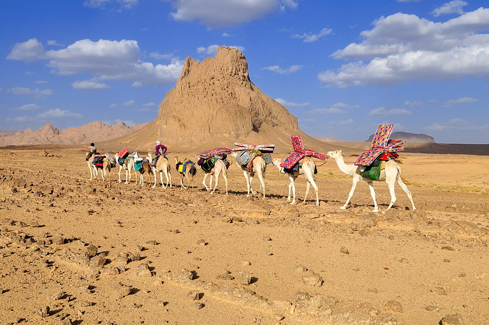 Group of camels, caravane, in the volcanic landscape of Hoggar, Ahaggar Mountains, Wilaya Tamanrasset, Algeria, Sahara, North Africa