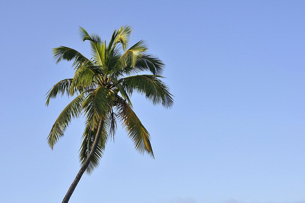 Coconut palm (Cocos nucifera), Haiti, Caribbean, Central America