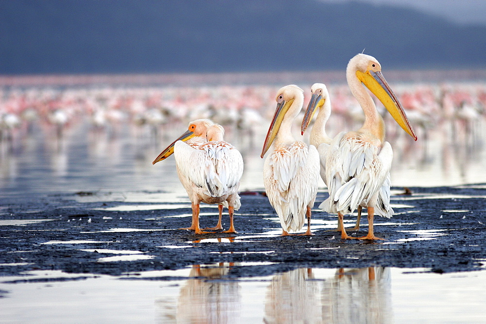 Pelicans (pelicanus onocrotalus), Masai Mara, Kenya, Afrika