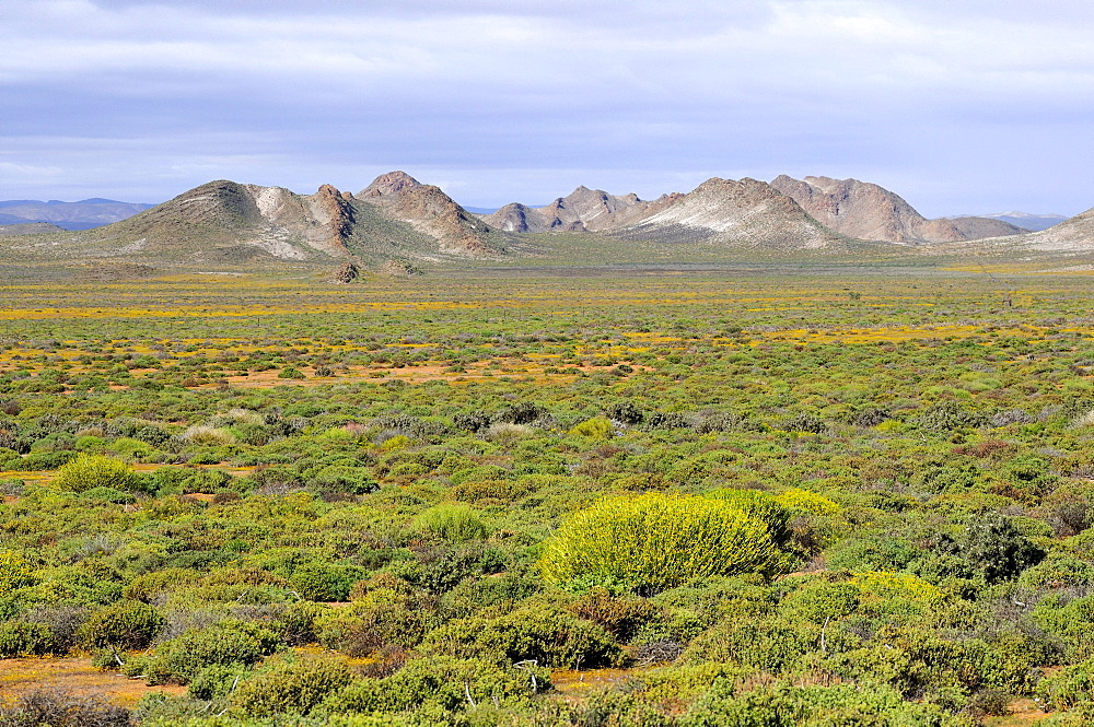 Typical vegetation consisting of mainly succulent shrubs in the Succulent Karoo landscape, Northern Cape, South Africa, Africa