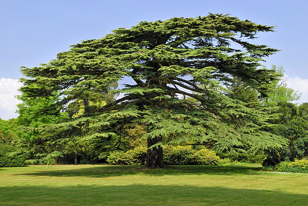 Old Lebanon Cedar (Cedrus libani) in the park of Osborne House, East Bowes, Isle of Wight, England, United Kingdom, Europe