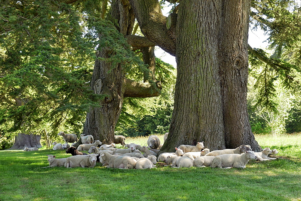 Sheep resting under old cedars, Wimborne, Dorset, southern England, England, United Kingdom, Europe