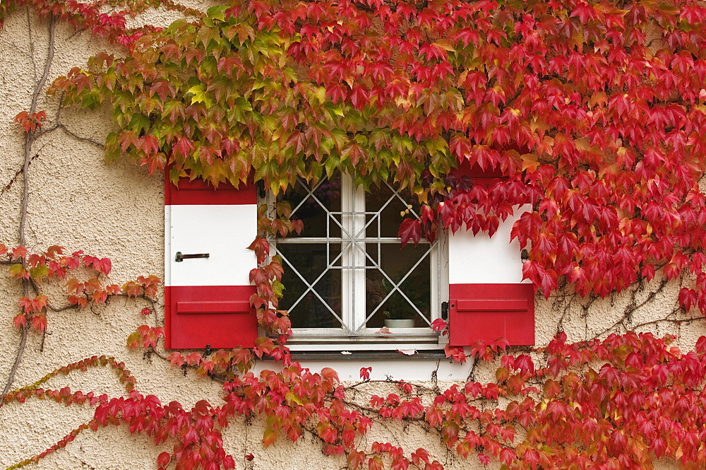 Autumn, red-coloured Japanese Creeper or Grape Ivy (Parthenocissus tricuspidata) growing around a window with red and white shutters