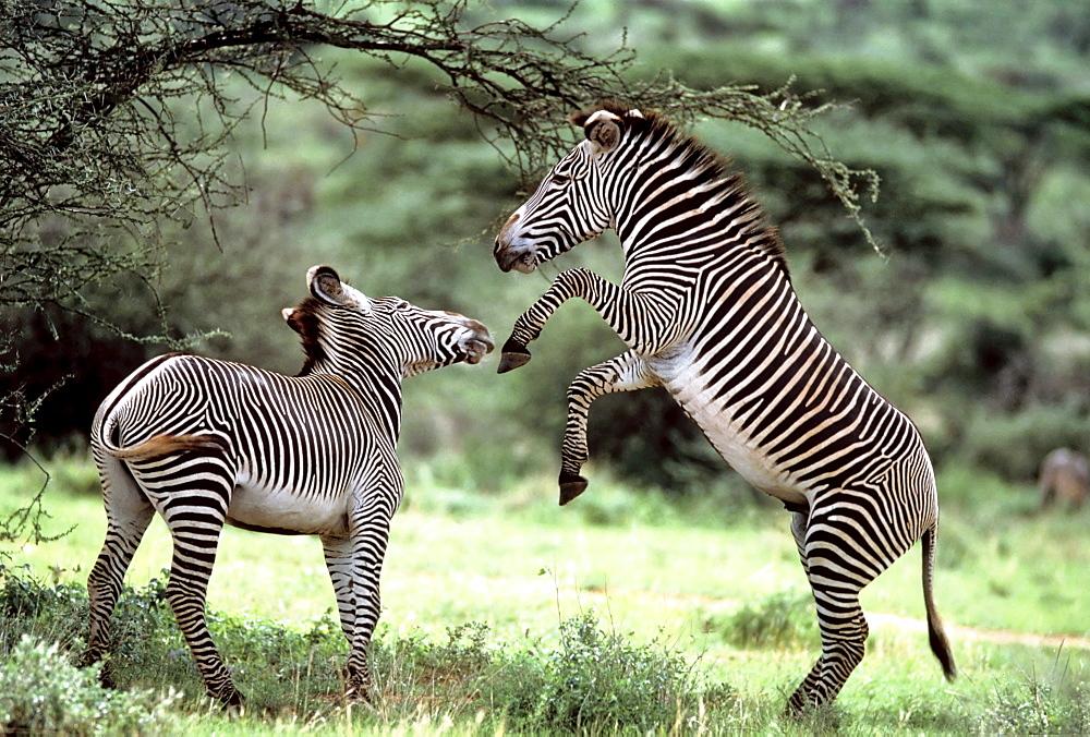 Courting Grevy Zebras, Equus grevyi, Samburu, Kenya, - 832-12361