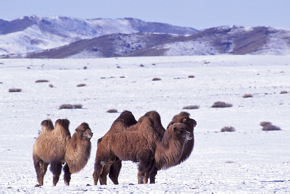 Two humped domestic Bactrian camel, Camelus ferus bactrianus, Altai Mountains, Mongolia