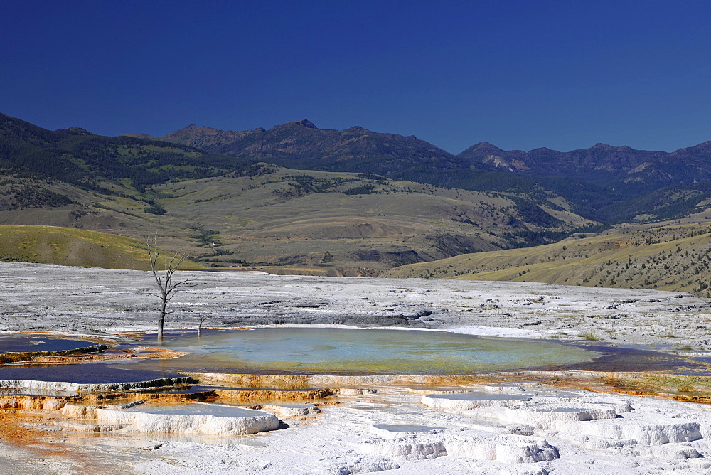 New Blue Spring, limestone sinter terraces, geysers, hot springs, dead trees, in Mount Everts, Mammoth Hot Springs Terraces in Yellowstone National Park, Idaho, Montana, Wyoming, America