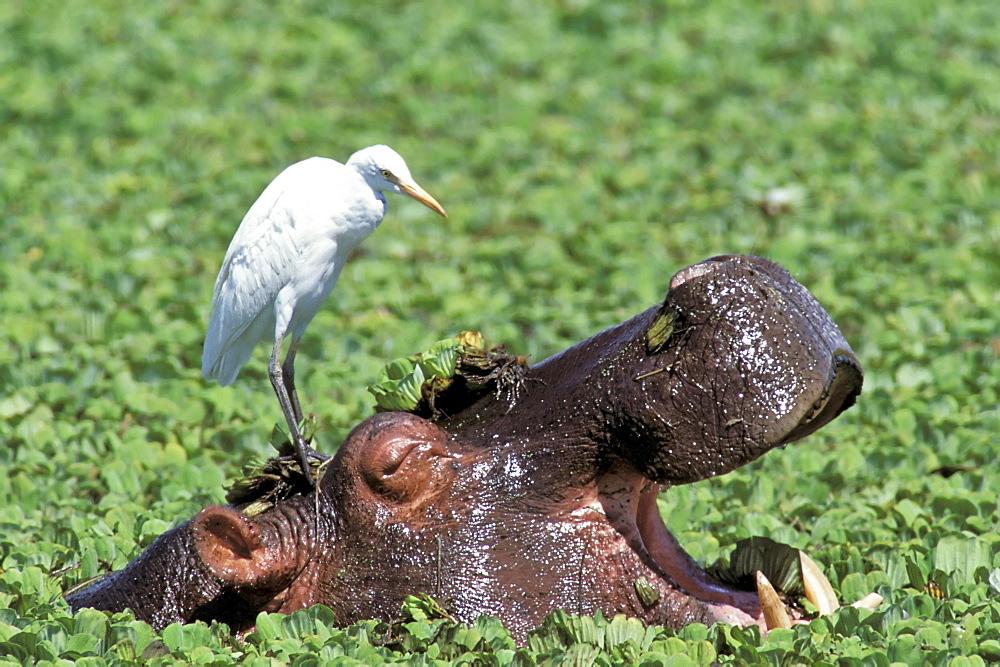 Hippopotamus, Flusspferd, Hippopotamus amphibius , Masai Mara Wildlife Reservation, Kenya, Africa, - 832-12397