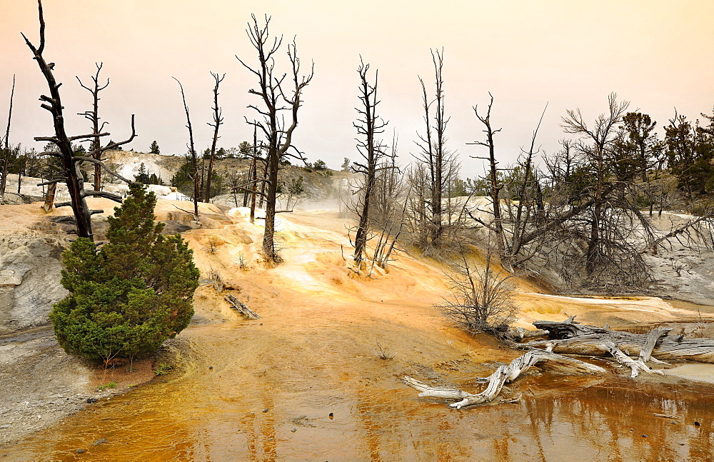 Angel Terrace, Upper Terraces, limestone sinter terraces, hot springs, colorful thermophilic bacteria, microorganisms, dead trees, Mammoth Hot Springs Terraces, Yellowstone National Park, Wyoming, United States of America, USA