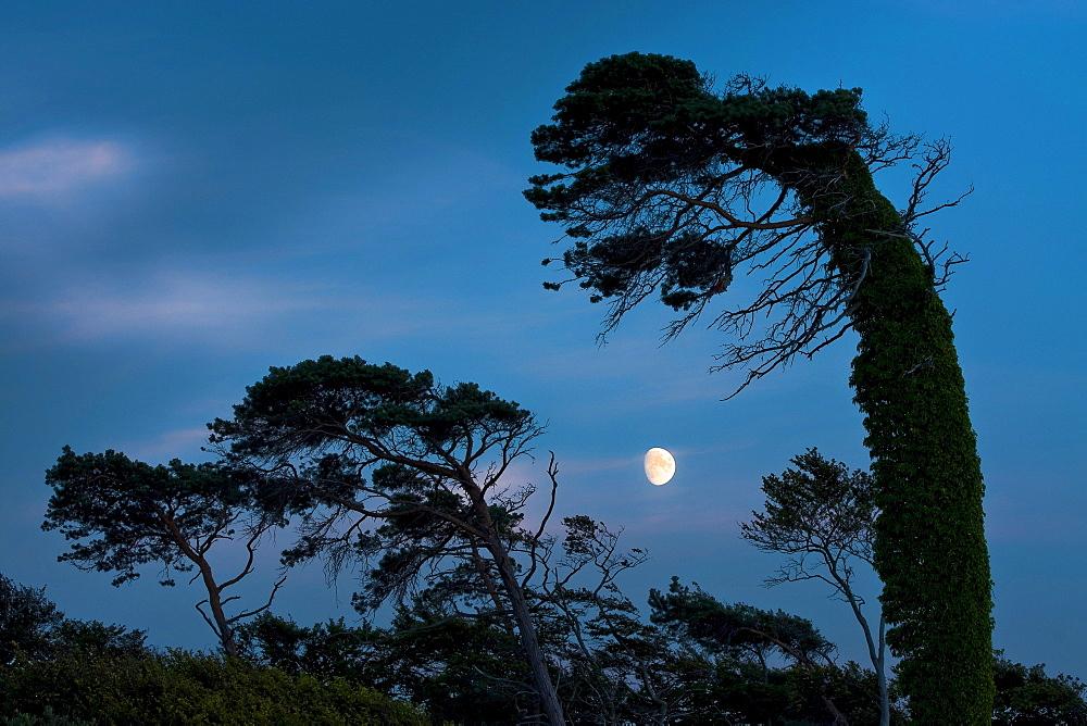 Wind blown trees and moon, Westrand Darss, Western Pomerania Lagoon Area National Park, Mecklenburg-Western Pomerania, Germany, Europe