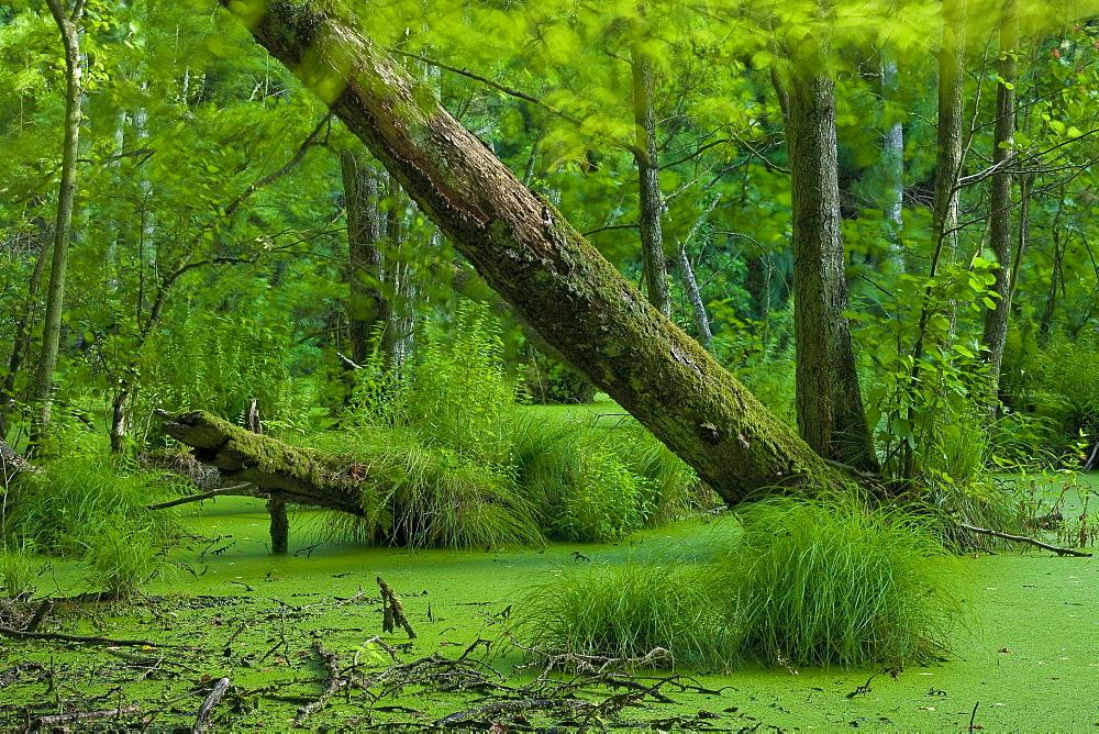 Alder carr, Jasmund National Park, Ruegen, Mecklenburg-Western Pomerania, Germany, Europe