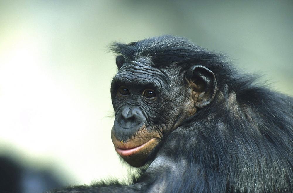 Zwergschimpanse Bonobo Pan paniscus