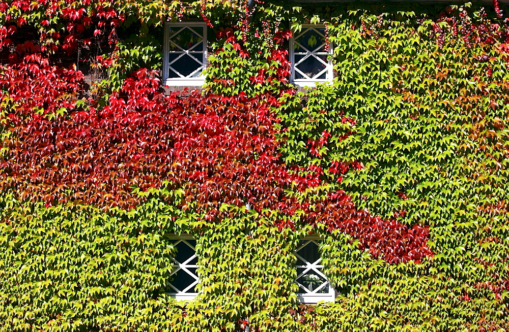 House, facade overgrown with ivy