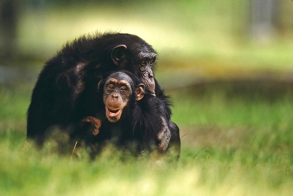 Chimpanzee Pan troglodytes - 832-12538