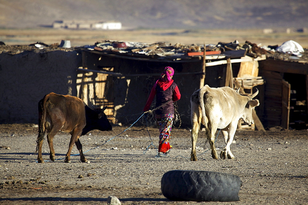 Morning, woman with cows, Bulunkul, Pamir, Tajikistan, Central Asia