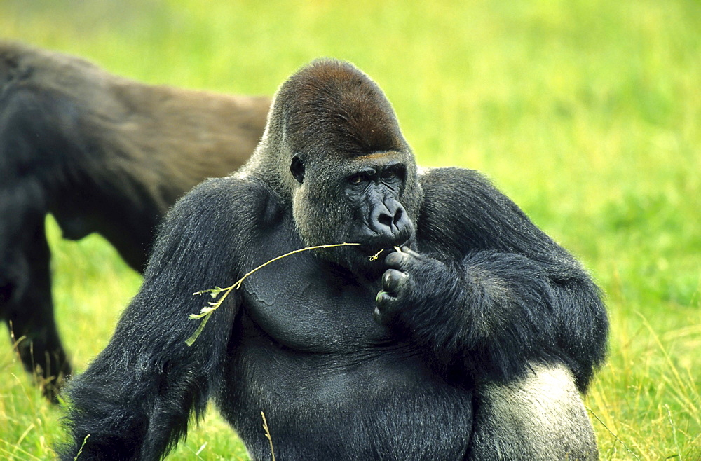 Western Lowland Gorilla Gorilla gorilla