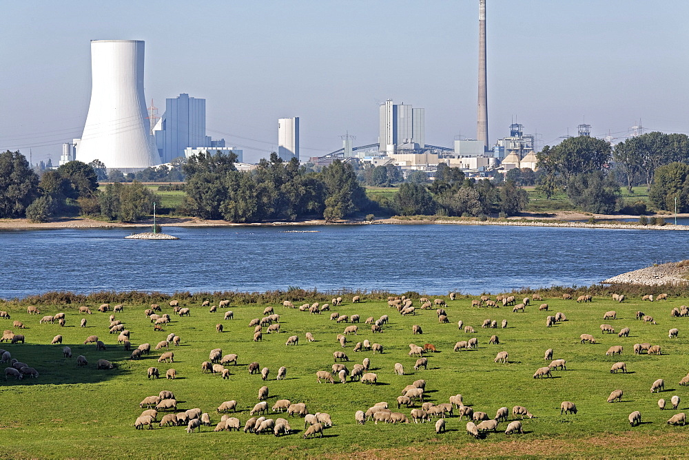 Flock of sheep grazing on the banks of the Rhine against industrial scenery, Alsumer Berg protected landscape, Bruckhausen, Duisburg, North Rhine-Westphalia, Germany, Europe