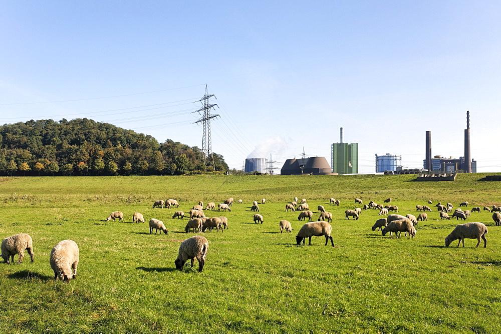 Flock of sheep grazing on the banks of the Rhine against industrial scenery, Alsumer Berg protected landscape, Bruckhausen, Duisburg, North Rhine-Westphalia, Germany, Europe