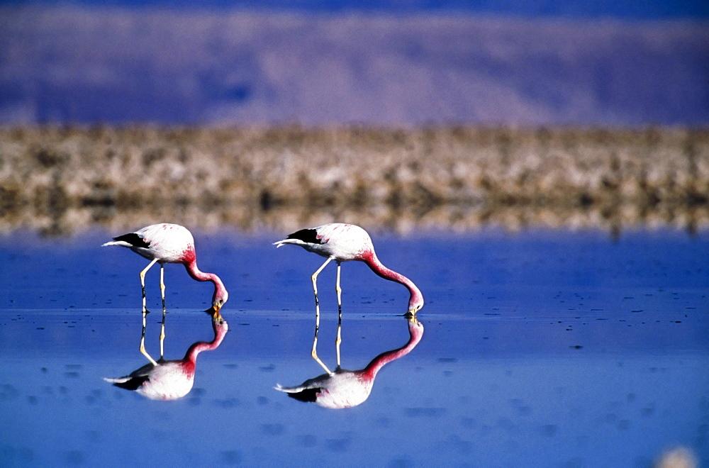 Anden-Flamingos in the Laguna Chaxa Phoenicopterus andinus Salar de Atacama North chile