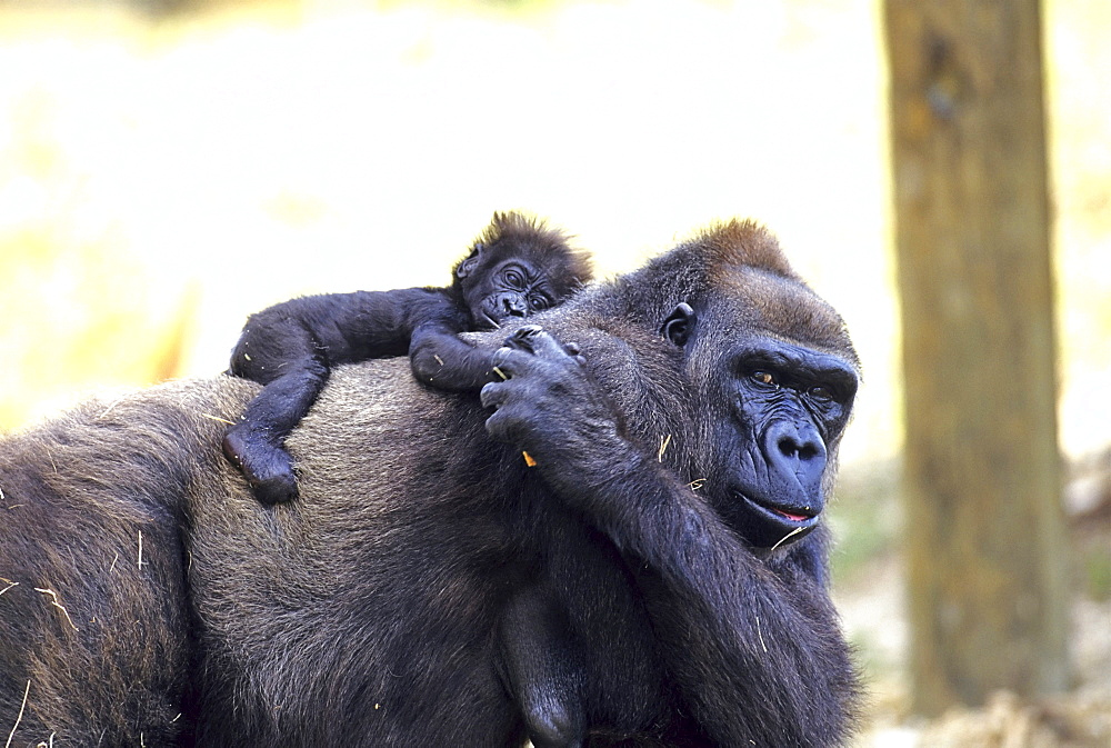 Lowland Gorilla with young, zoo