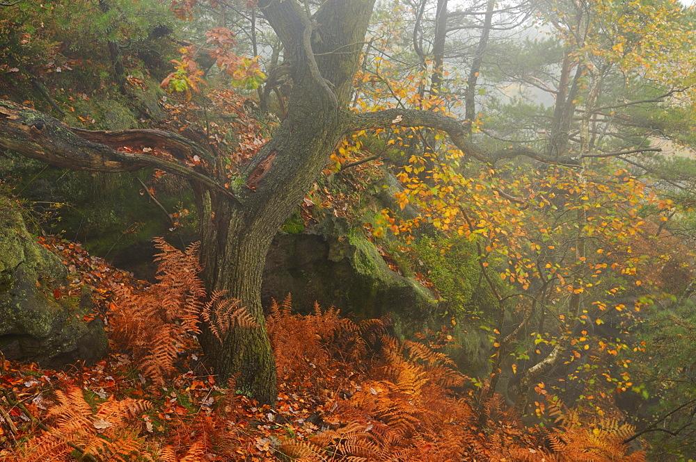 Foggy mood in autumn in the Saechsische Schweiz, Saxon Switzerland, Elbe Sandstone Mountains, Saxony, Germany, Europe