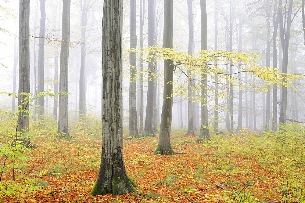Foggy beech forest in autumn, Harz mountain range, Saxony-Anhalt, Germany, Europe