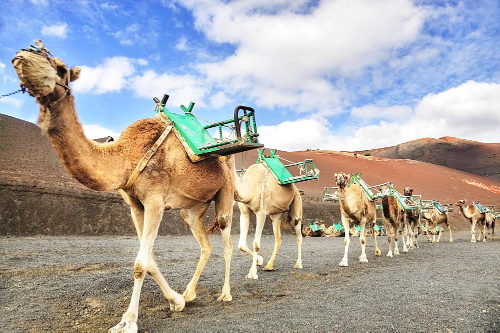 Dromedaries at the dromedary station, Timanfaya National Park, Echadero de los Camellos, Lanzarote, Canary Islands, Spain, Europe
